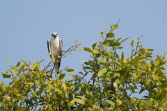 Black Shouldered Kite Bird Stock Images