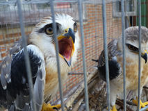 Black shouldered kite in cage Stock Photo