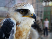 Black shouldered kite in cage Royalty Free Stock Photography