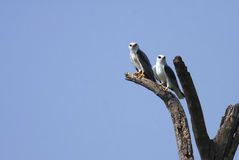 Black Shouldered Kite Royalty Free Stock Photos
