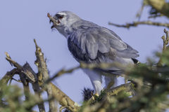 Black-shouldered Kite eating Rat leg. The Black-shouldered Kite eats insects, grasshoppers, small birds, reptiles and rodents, particularly mice Royalty Free Stock Photography