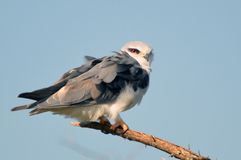 Black-shouldered Kite (Elanus axillaris) Stock Image