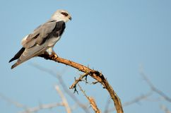 Black-shouldered Kite (Elanus axillaris) Royalty Free Stock Photography