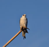 Black-shouldered Kite (Elanus axillaris) Stock Photos
