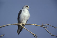 Black-shouldered kite, Elanus axillaris Stock Photography