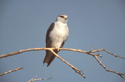 Black-shouldered kite, Elanus axillaris Royalty Free Stock Image