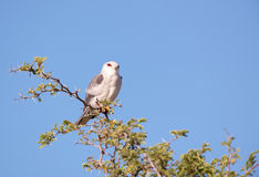 Black-shouldered Kite (Elanus caeruleus) Royalty Free Stock Image
