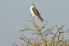 Black Shouldered Kite Stock Photography