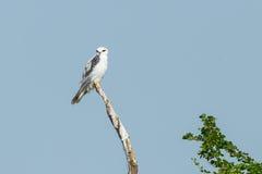 Black-shouldered Kite Stock Photos