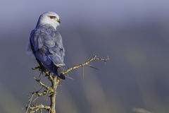 Black-shouldered Kite with head turned Stock Images