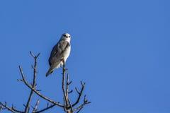 Black-shouldered Kite in Kruger National park, South Africa Royalty Free Stock Images