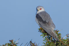 Black-shouldered Kite Looking Over Shoulder. Photographed in Kenya's Nairobi National Park with the low sun showing it's most distinctive feature - its red eyes Stock Photo