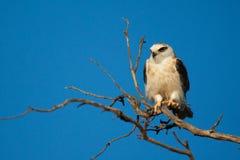 Black Shouldered Kite Stock Photo