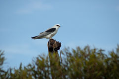 Black-shouldered kite perched on rusty machinery Stock Images