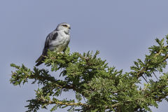 Black-shouldered Kite Perched. The Black-shouldered Kite's face is white, with black eye-patches. Underparts are pure white. Bright yellow cere, legs and feet Stock Photo