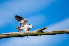 Black Shouldered Kite with prey Royalty Free Stock Photo
