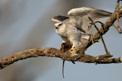 Black Shouldered Kite with rat Royalty Free Stock Image