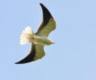 Black-shouldered Kite Stock Image