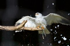 Black-shouldered Kite. A black-shouldered Kite is spreading its wings while it is resting on a piece of wood. The feather on its belly and under the wings is royalty free stock image