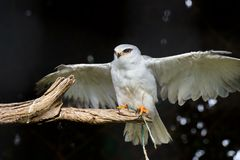 Black-shouldered Kite. A black-shouldered Kite is spreading its wings while it is resting on a piece of wood. The feather on its belly and under the wings is royalty free stock photos