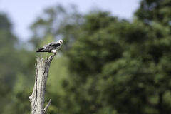 Black-shouldered Kite stand on stump Royalty Free Stock Image