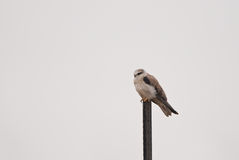 Black-shouldered Kite Royalty Free Stock Images