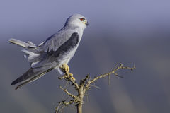 Black-shouldered Kite with tail cocked Royalty Free Stock Photos