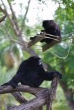 Black siamang Royalty Free Stock Photo