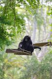 Black siamang Stock Photo