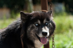 Black Siberian husky dog Royalty Free Stock Photography