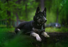 Black Siberian Husky dog breed is in the night forest Stock Images