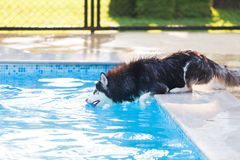 Siberian Husky jumping in the Swimming Pool stock image