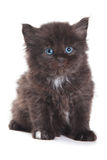 Black Siberian kitten Stock Images