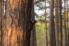 Black Siberian squirrel on the tree trunk. Spring sunset in a pine forest royalty free stock images