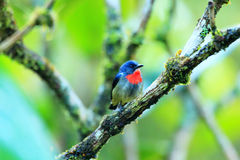 Black-sided Flowerpecker Stock Photo