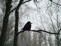 The black silhouette of a crow in profile on a tree branch, in the background there are bare branches of trees and a gloomy winter. Black silhouette of a crow in Royalty Free Stock Photography
