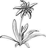 Black silhouette outline edelweiss (leontopodium) flower, the symbol of alpinism Stock Images