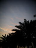 Black silhouette palm tree leaves outlines twilight time Royalty Free Stock Images