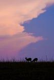 Black silhouettes hog deer or deer in a meadow. Royalty Free Stock Photography