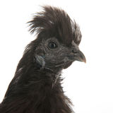 Black Silkie Stock Photo