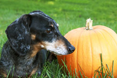 Black and Silver Dapple Dachshund Laying in the grass next to an. Orange pumpkin Royalty Free Stock Photo