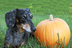 Black and Silver Dapple Dachshund Laying in the grass next to an. Orange pumpkin Royalty Free Stock Photography