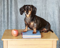 Black and Silver Dapple Dachshund Laying in the grass next to an. Orange pumpkin Stock Images