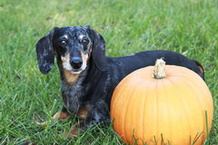 Black and Silver Dapple Dachshund Laying in the grass next to an. Orange pumpkin Stock Photography
