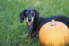 Black and Silver Dapple Dachshund Laying in the grass next to an. Orange pumpkin Stock Image