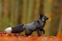 Black silver fox, rare form. Dark red fox playing in autumn forest. Animal jump in fall wood. Wildlife scene from wild nature. Fun. Ny image from nature Royalty Free Stock Photos