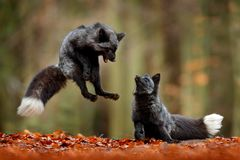 Black silver fox. Two red fox playing in autumn forest. Animal jump in fall wood. Wildlife scene from tropic wild nature. Pair of