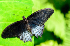 Black and silver Great Mormon butterfly Royalty Free Stock Photography