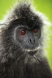 Black silver leaf monkey Stock Photos