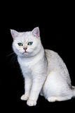 Black silver shaded British short hair cat Royalty Free Stock Photos